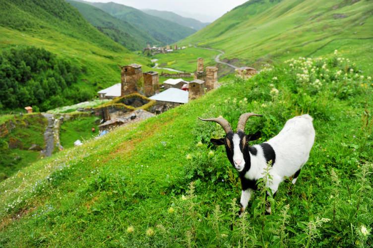 عنزة في قرية أوشغولي في جبال القوقاز #جورجيا