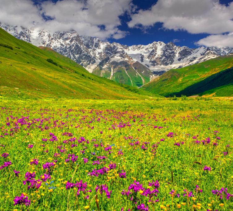نوار الزهور البنفسجية في أعالي جبال القوقاز شمال إقليم سفانيتي #جورجيا