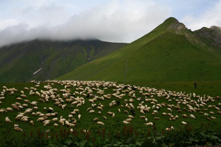 قطيع الغنم في جبال القوقاز في #جورجيا
