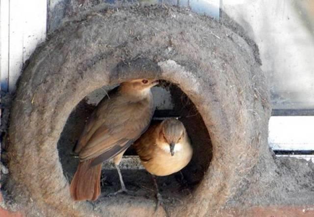 صور رائعة لطائر يصنع عشه بنفسه كمهندس مبتكر #غرد_بصوره صوره رقم 8