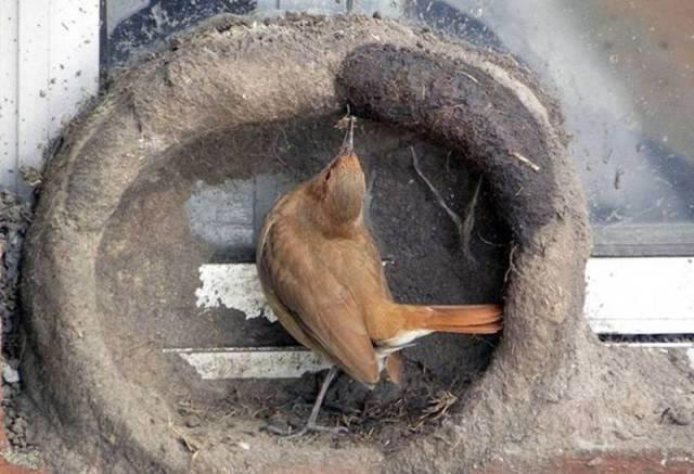 صور رائعة لطائر يصنع عشه بنفسه كمهندس مبتكر #غرد_بصوره صوره رقم 7