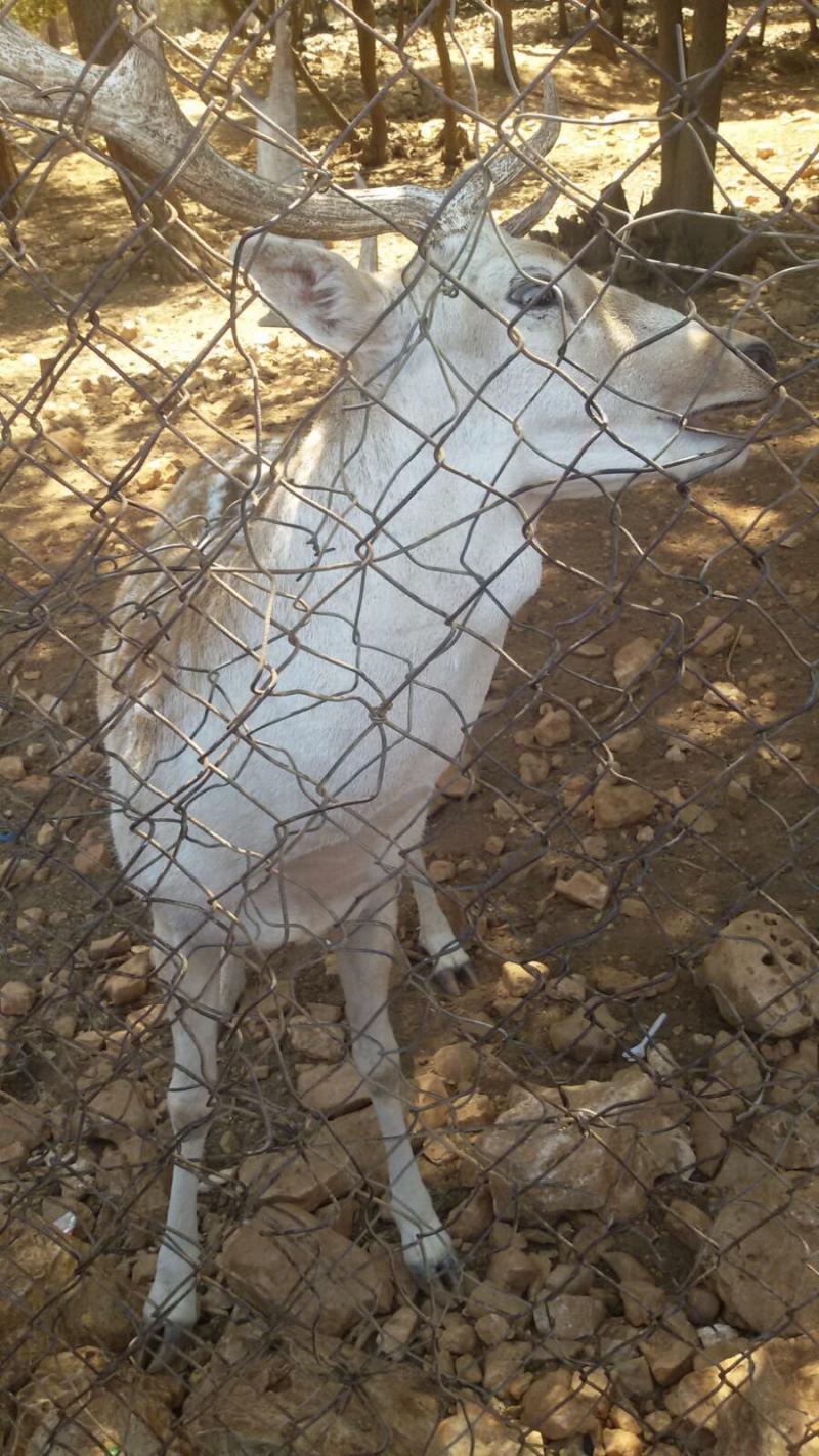 محمية دبين للغزلان #الأردن -صورة 1