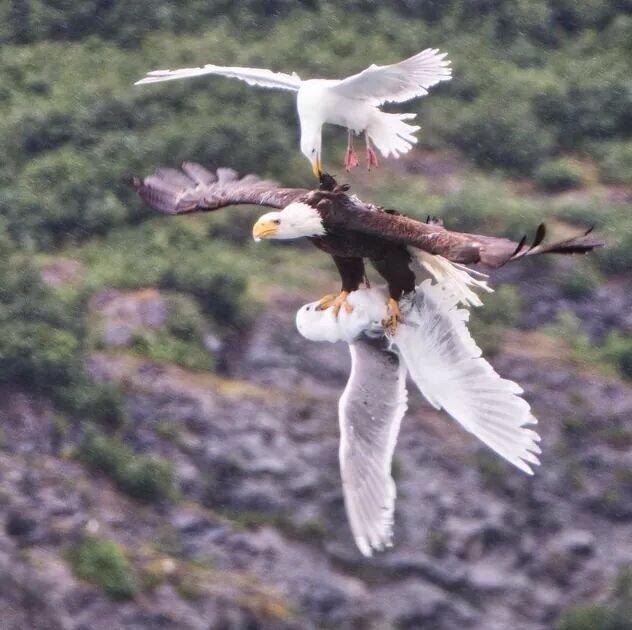 طائر يحاول انقاذ صغيره من مخالب صقر اختطفه