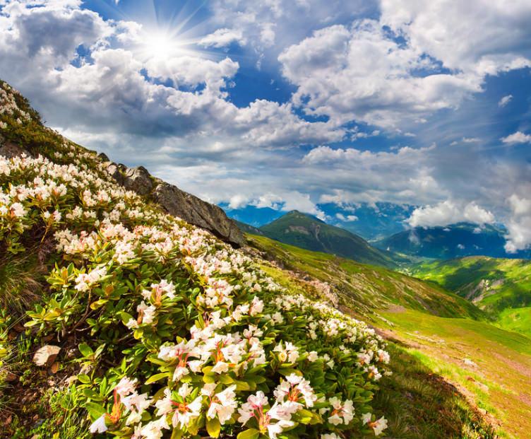 الزهور البريّة في أعالي جبال القوقاز شمال إقليم سفانيتي في #جورجيا