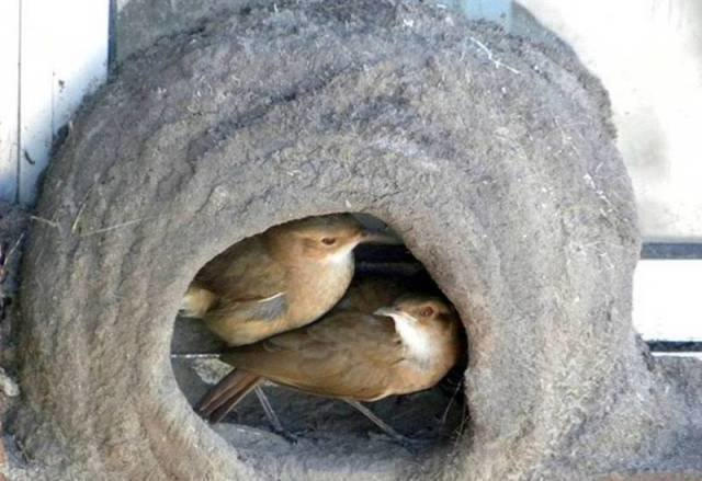 صور رائعة لطائر يصنع عشه بنفسه كمهندس مبتكر #غرد_بصوره صوره رقم 6