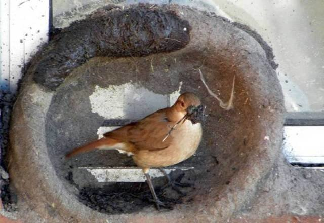 صور رائعة لطائر يصنع عشه بنفسه كمهندس مبتكر #غرد_بصوره صوره رقم 10