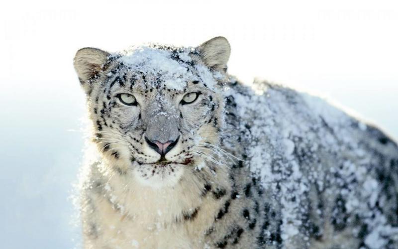 #الفهد_الثلجي صوره 1