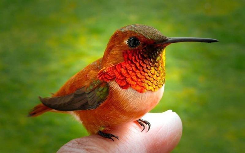 صور طائر #الطنان الذي يعد من اصغر الطيور #غرد_بصوره 5