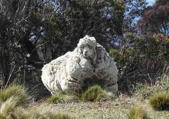 العثور على خروف في #استراليا يزن صوفه 40 كم منعته من الرؤية وشلت حركته ، مما دعاهم للحلاقة له #غرائب #غرد_بصورة -2