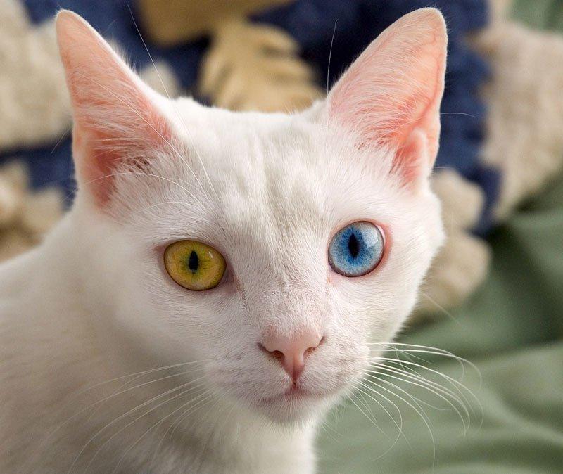 صورة عيون قطة بلونين مختلفين