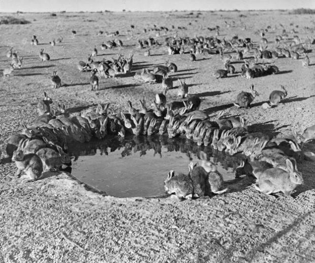 عام 1859 فشل الصيادون في أستراليا لأول مرة في صيد 24 أرنب، تضاعفت خلال 70 سنة لتصل إلى 10 مليار أرنب