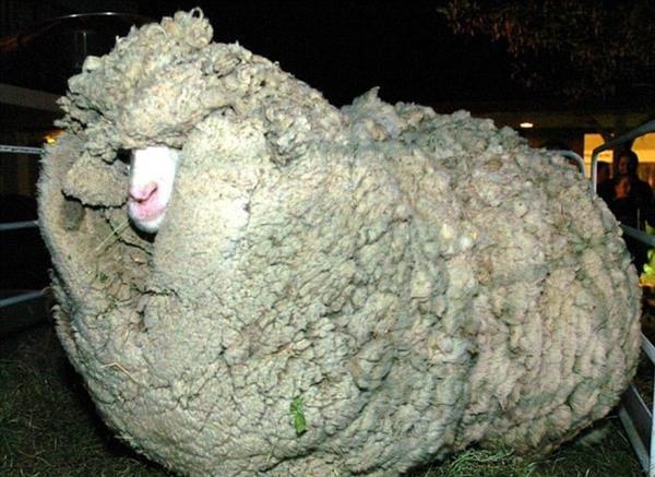 العثور على خروف في #استراليا يزن صوفه 40 كم منعته من الرؤية وشلت حركته ، مما دعاهم للحلاقة له #غرائب #غرد_بصورة -1