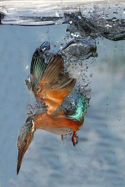 طائر الصياد الملكي لحظة هجومه على سمكة داخل الماء #طبيعة