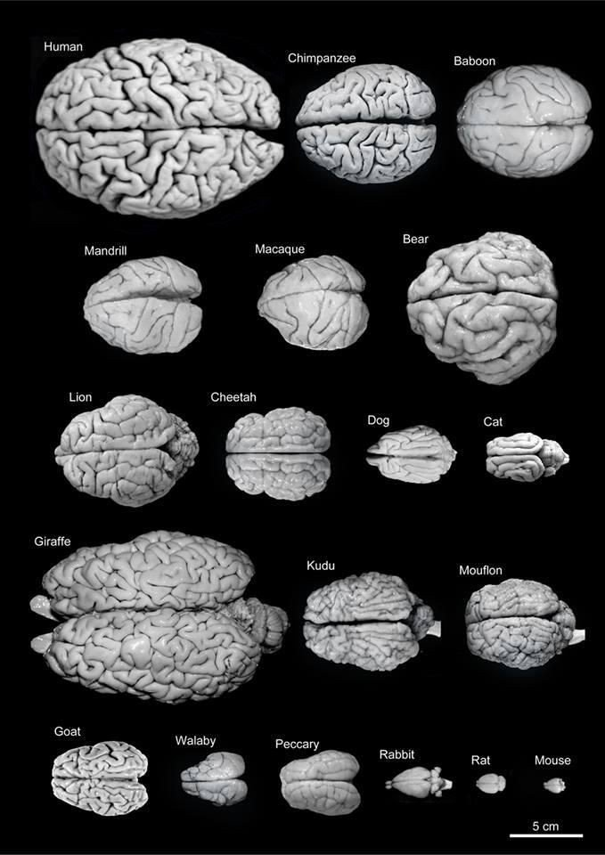 Brain size of different animals #Infographic