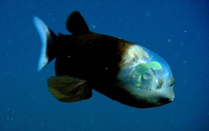 30 صورة تظهر غرائب العالم - سمكة Pacific Barreleye تستطيع إدارة عينها لترى خلفها من خلال رأسها الشفاف