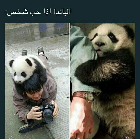 حيوان الباندا عندما يحب أحد #حيوانات #مضحك #نهفات