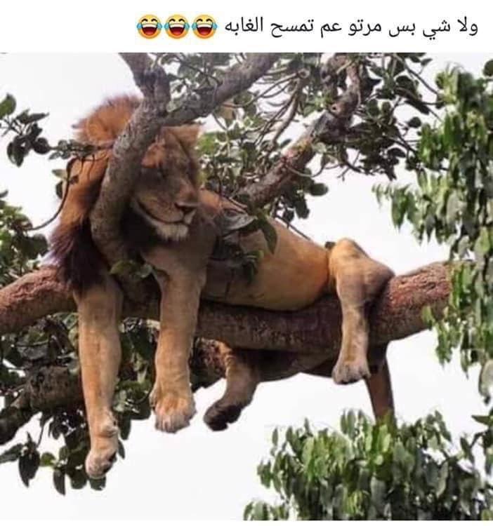 حتى ملك الغابة #مضحك #نهفات