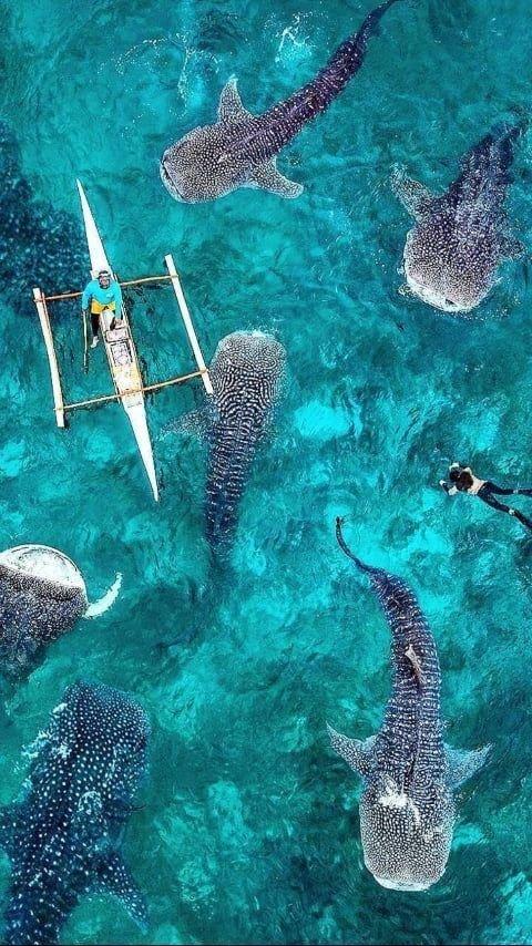 Whale #Shark #Oslob #Cebu #Philippines