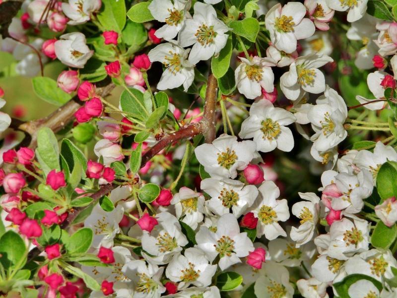 صور تحتوي #ربيع #زهري #أبيض #العروض #أزهار_التفاح