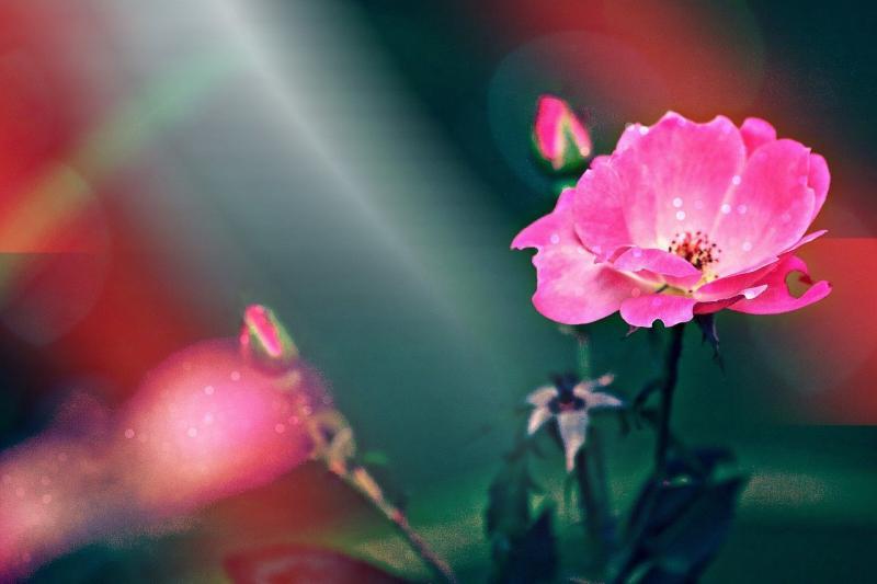 صور تحتوي #زهري #نبات #الوردة #إزهار #زهرة #زهر