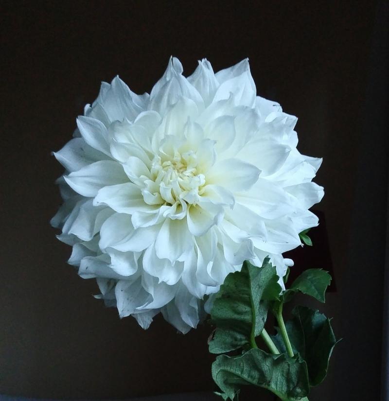 صور تحتوي #طبيعة #زهري #نبات #صورة قريبة #الصيف #زهرة #أضاليا
