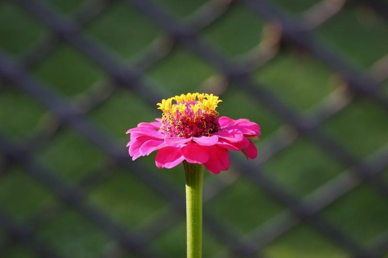 صور تحتوي #زخرفي #تزهر #سياج #زهرة #نبات #الزينية_نبات
