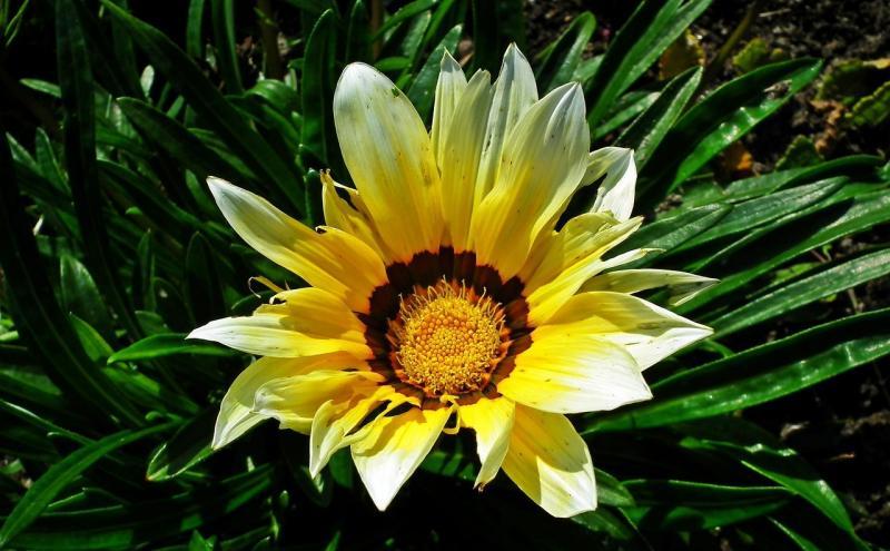 صور تحتوي #زهرة #دقيق #حديقة #طبيعة #زخرفي #غازانيا