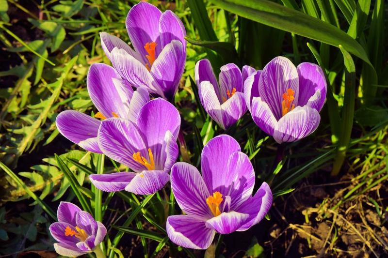 صور لـ #أرجواني #زهر #ربيع #نبات #زعفران #زهرة #طبيعة