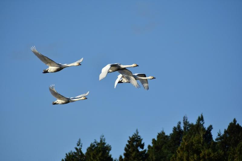 صور تحتوي #حيوان #طيور_برية #مجالات #الطيور_المائية #طائر #بجعة #سماء