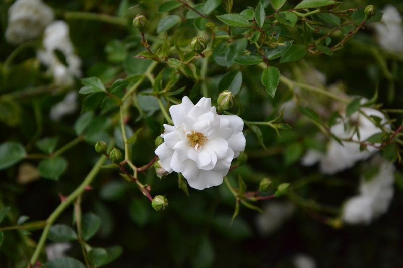 صور تحتوي #إزهار #زهرة_بيضاء #زهر #أبيض #زهرة #أخضر
