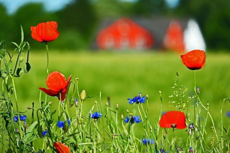 صور تحتوي #الزهور_البرية #الخشخاش #القنطريون #مرج #خشخاش_نبات_مخدر
