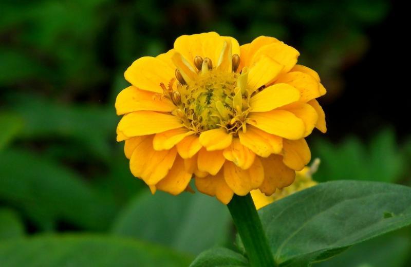 صور تحتوي #صورة قريبة #طبيعة #الزينية_نبات #الأصفر #زهرة #حديقة
