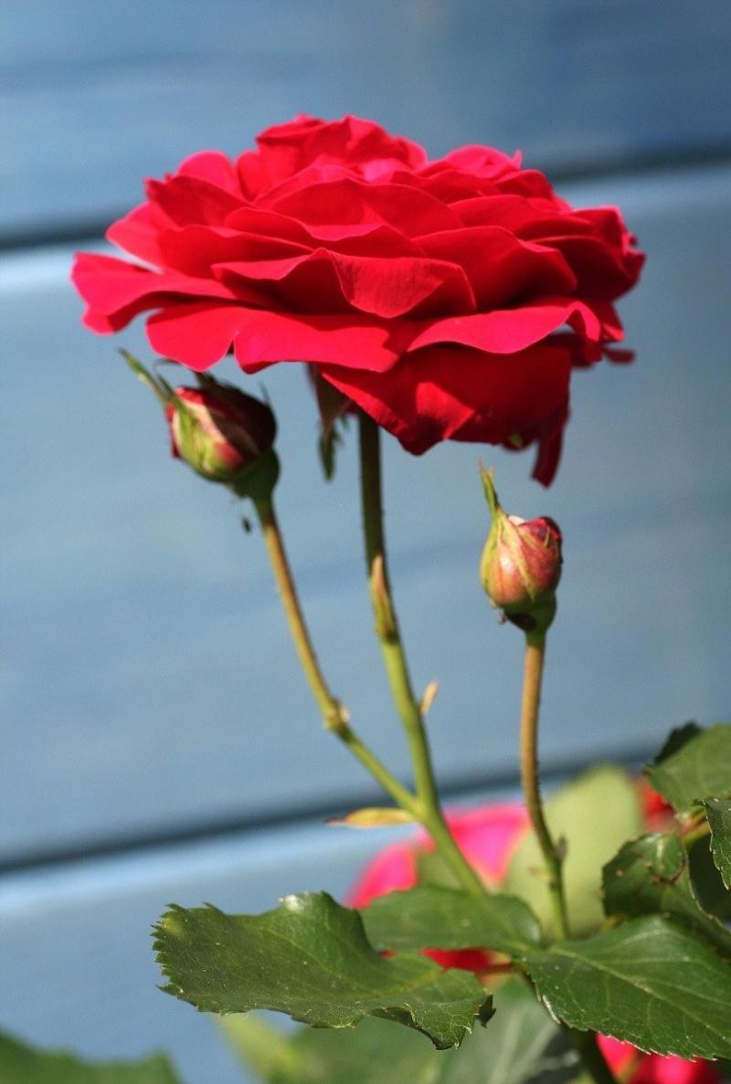 صور لـ #ربيع #حديقة #البراعم #ورود #غصن_الورد #بتلات