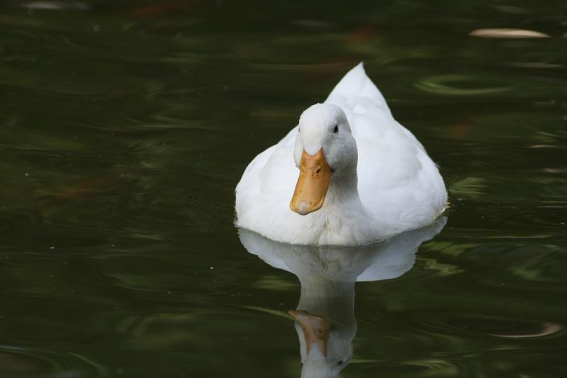 صور لـ #ريش_الطيور #افي #بطة #سباحة #أبيض #الحيوانات #بركة_ماء