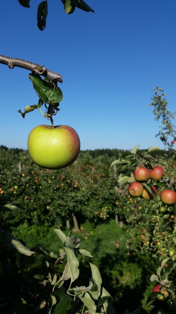 صور تحتوي #تفاحة #الزراعة #بستان_التفاح #شجرة #فاكهة #بستان
