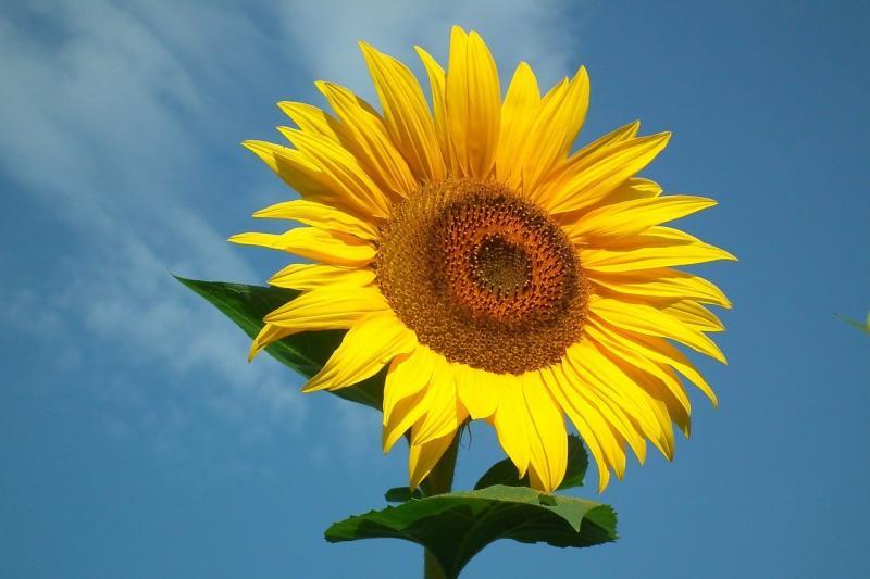 صور تحتوي #دوار_الشمس #مشمس #لقاح #زهرة #طبيعة #الأصفر