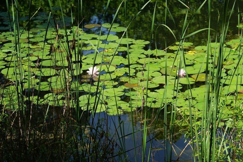 صور تحتوي #نبات #بركة_ماء #سادة_زنبق #زهر #ماء #طبيعة #زهرة