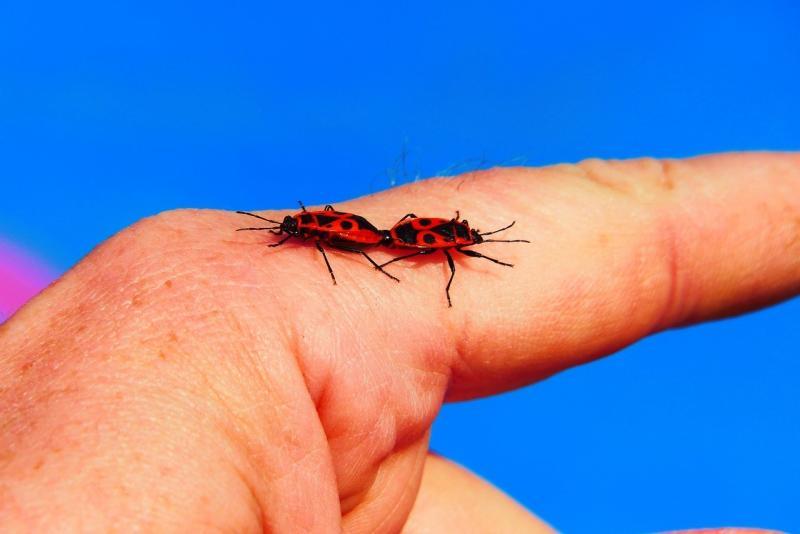 صور تحتوي #البق #يد #الحدادون #جماع #الحشرات