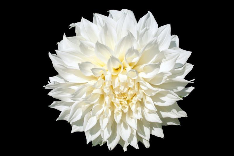 صور تحتوي #أضاليا #زهرة #حديقة #أبيض