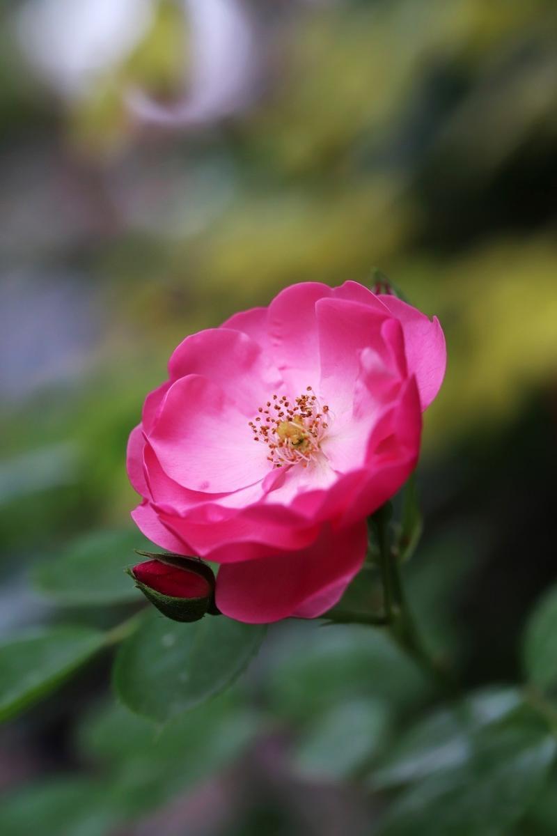 صور تحتوي #زهور #طبيعة #البتلة_نبات #الوردة #جميلة