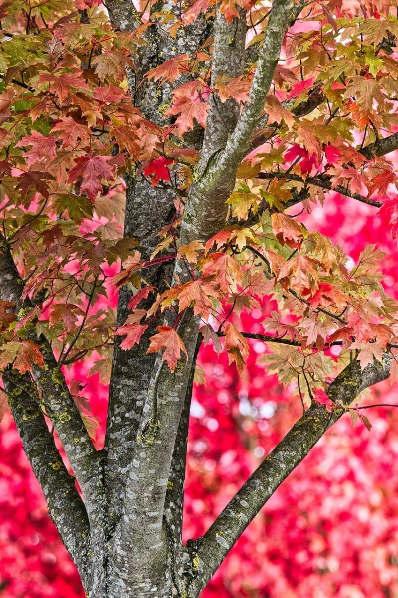 صور تحتوي #خلفية #الخريف #شجرة #أحمر #اوراق_اشجار #خشب_القيقب #طبيعة