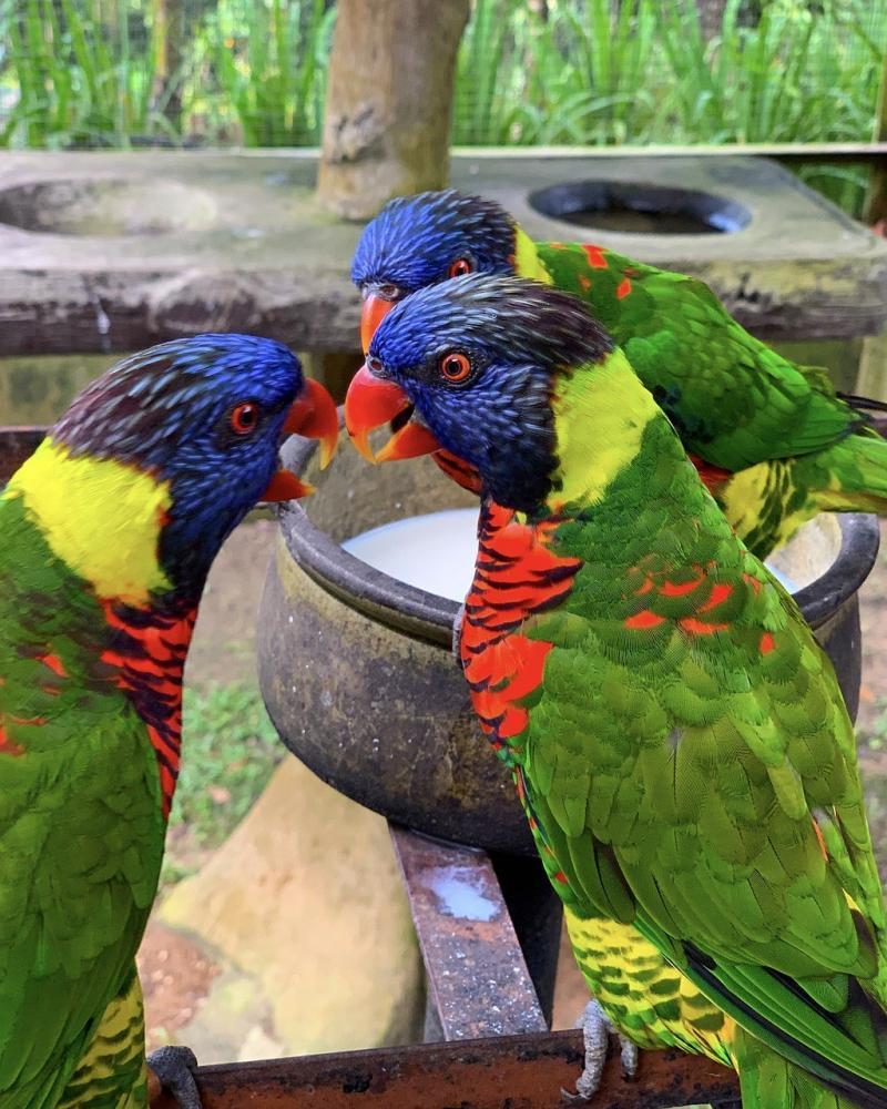 صور تحتوي #طائر #ببغاء #زاهى_الألوان #قوس_المطر #قوس_قزح_لوريكيت