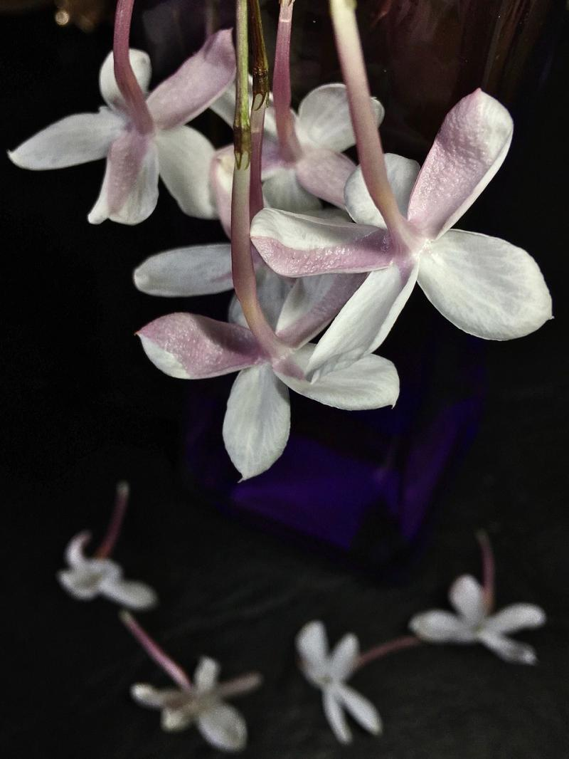صور تحتوي #طبيعة #زهور #الياسمين #زهرة_بيضاء #أبيض #زهرة