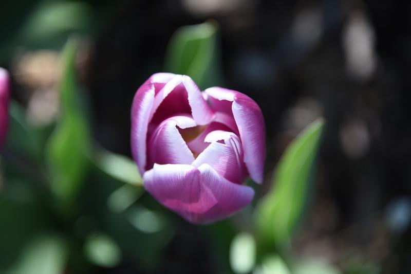 صور تحتوي #زهرة #أرجواني #الخزامى #طبيعة #ربيع #تزهر #زهري