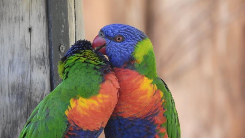 صور تحتوي #ببغاء #حديقة_حيوان #زوج_من #الطيور #لوري