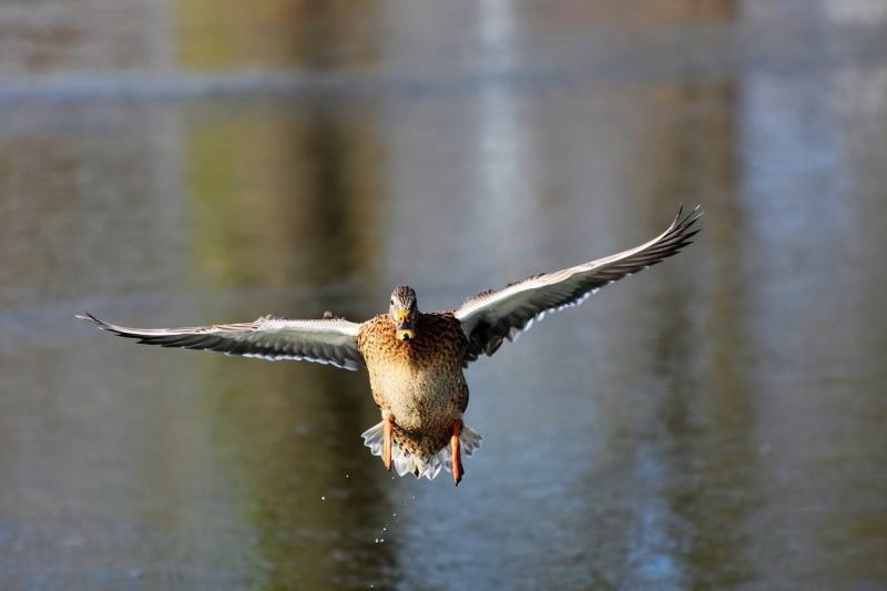 صور تحتوي #ريشة #جناح #طائر_الماء #البري #بطة #طائر #مدفع