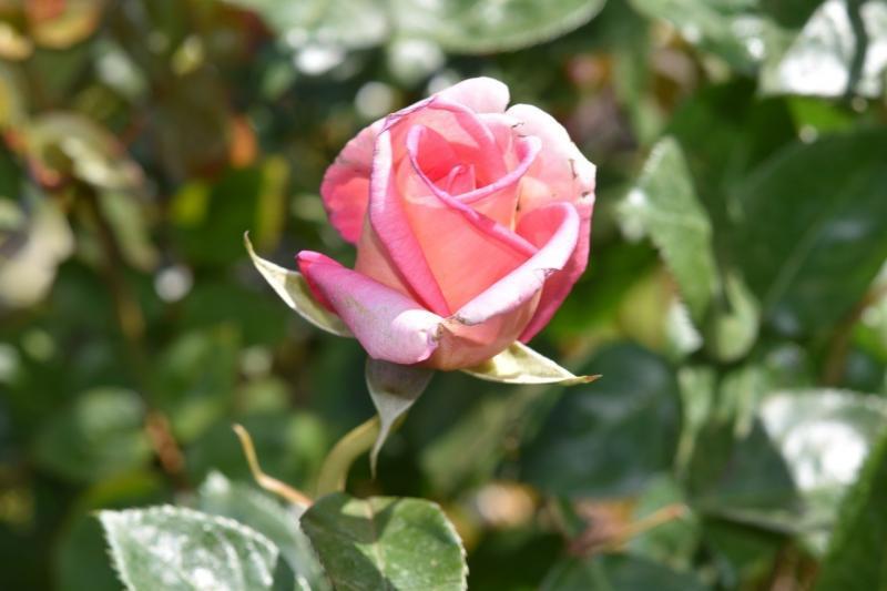 صور تحتوي #زهرة #حديقة #زهري #شجيرة #اللون_الوردي #اوراق_خضراء