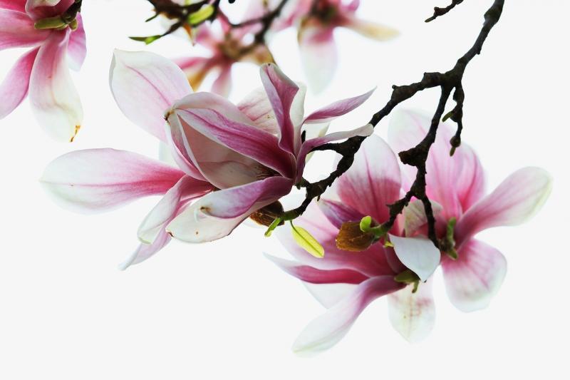 صور تحتوي #العروض #طبيعة #مناقصة #شجرة_المغنولية #ربيع #زهري #حديقة