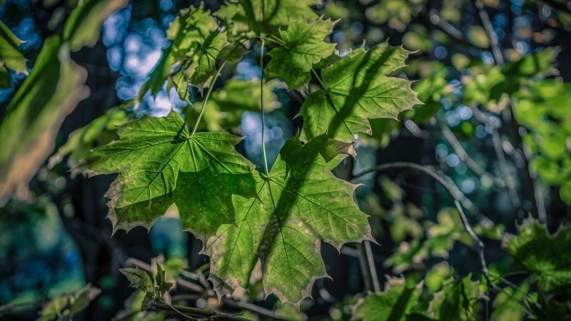 صور تحتوي #خشب_القيقب #طبيعة #أخضر #ورقة_الشجر #اوراق_اشجار #غابة #الخريف