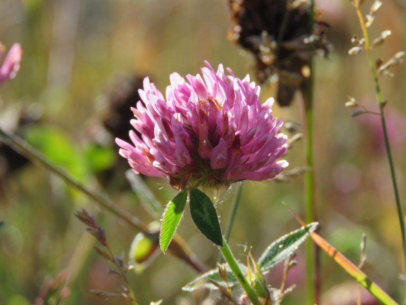 صور تحتوي #Trifolium_Pratense #زهرة #طبيعة #نفل #معطف_أحمر